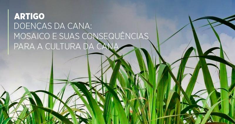 Doenças da cana: mosaico e suas consequências para a cultura da cana